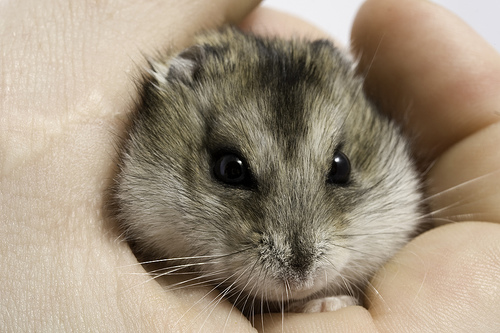 Little Gray Dwarf Hamster Is Angry Kira S Page